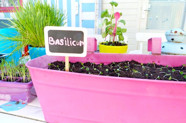 basilicum kweken