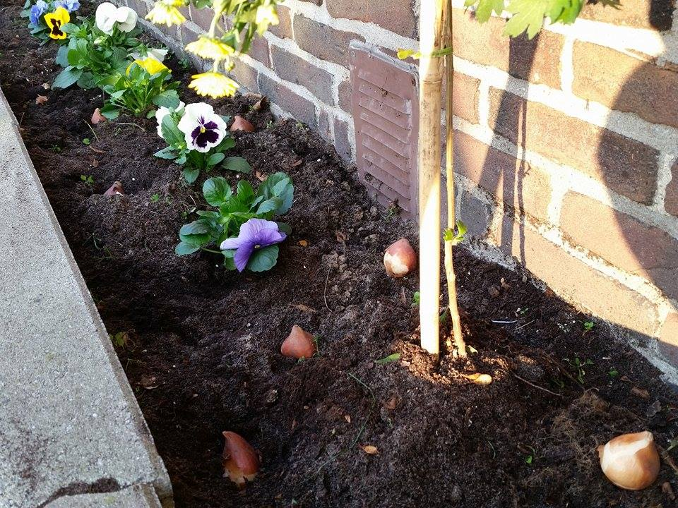 herfsttuin tulpenbollen planten