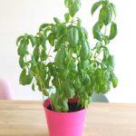Project Basilicumplant