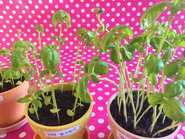 basilicumplanten kweken