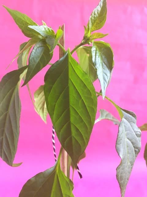 peperplanten