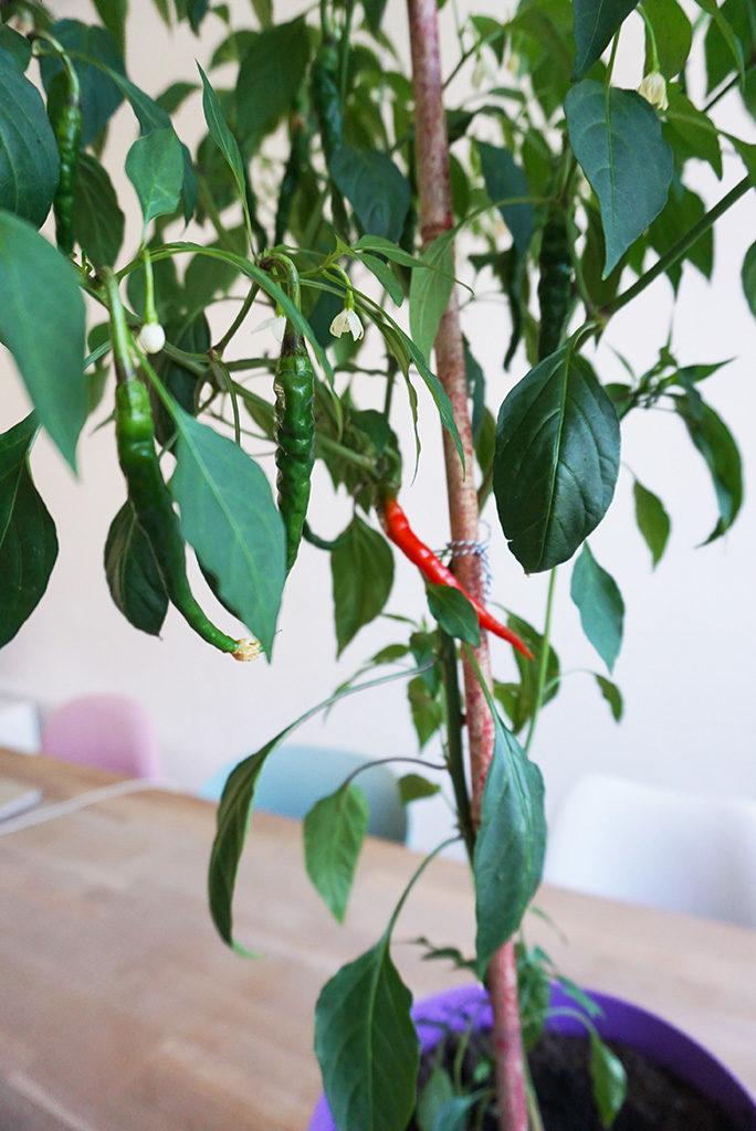 peperplant kweken