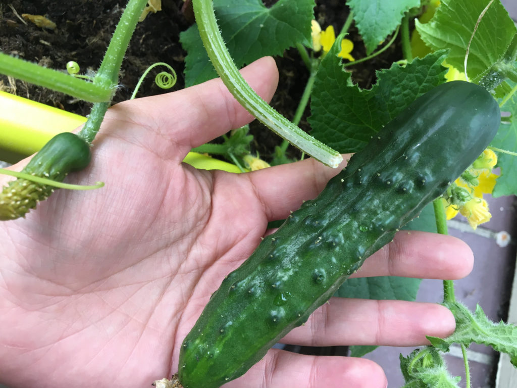 komkommerplant